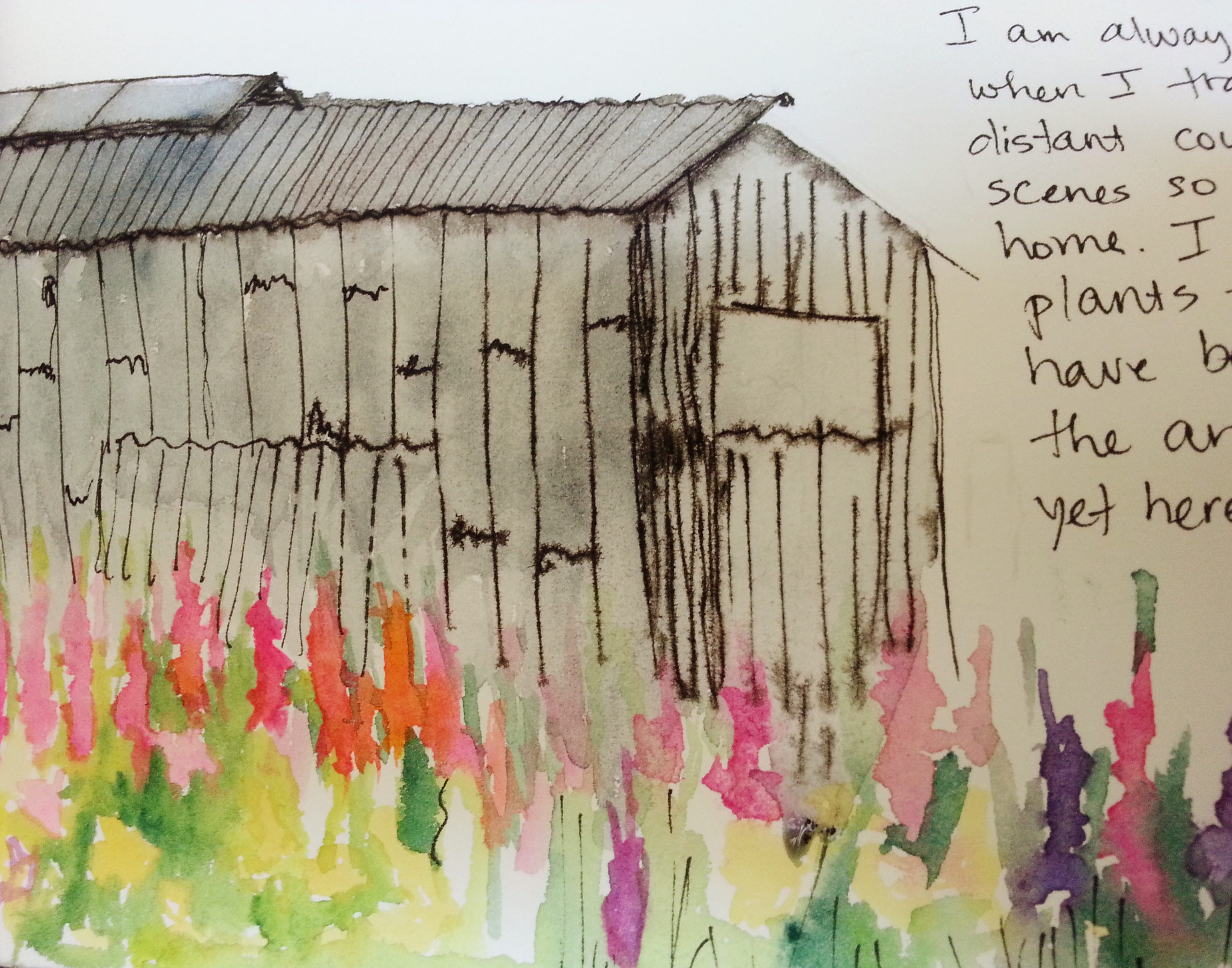 May 27, 2013 I am always surprised when I travel to a far, distant country and see scenes so familiar from home.  I expect the plants to be strange, have become used to the ancient architecture, yet here is a field of hollyhocks underlining an ordinary barn of wood and corrugated tin.